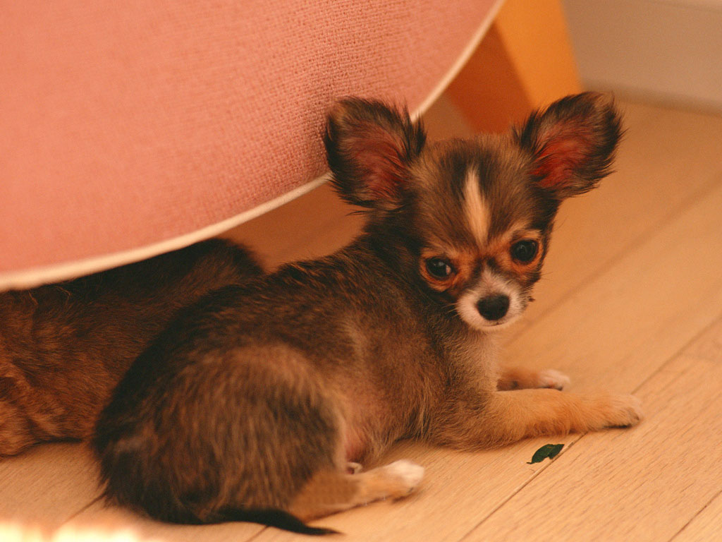 Chihuahua dog pictures  Cute pet dog