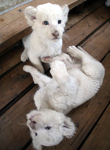 cute baby white lions - photo #9