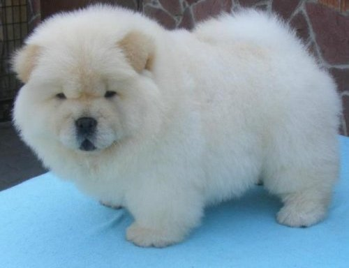 White Chow Chow Puppies