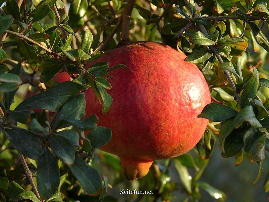 Pomegranate Anar Health Benefits