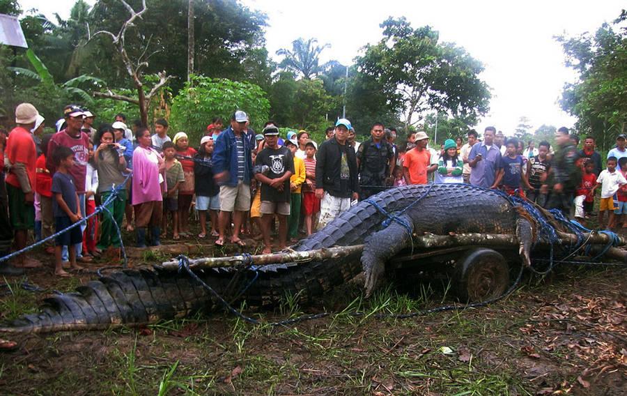Largest crocodile ever - photo#1