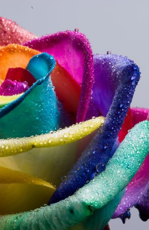 Rainbow roses for Multi colored rose petals