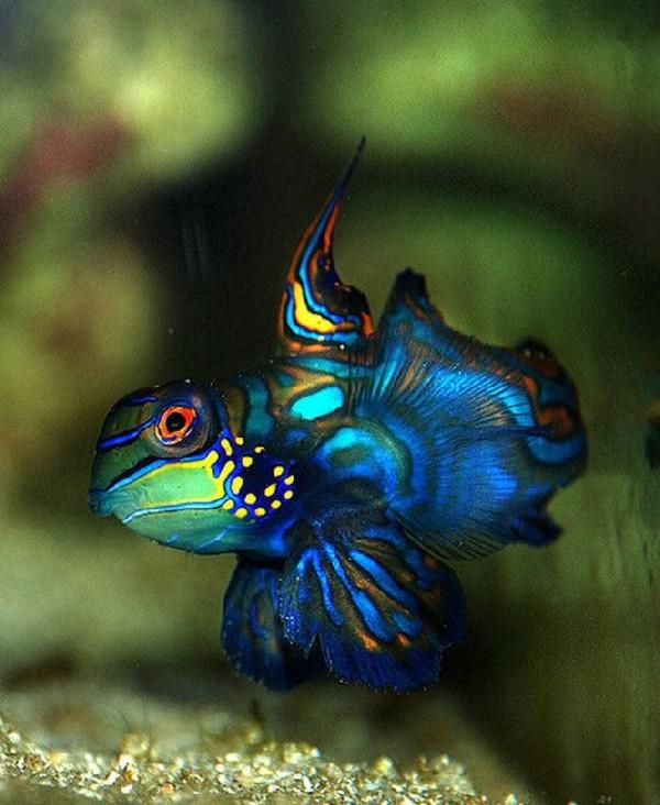 Colorful Mandarin Fish