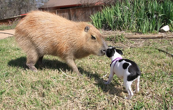 ms typaldos adopted the capybara from an owner who was no longer able