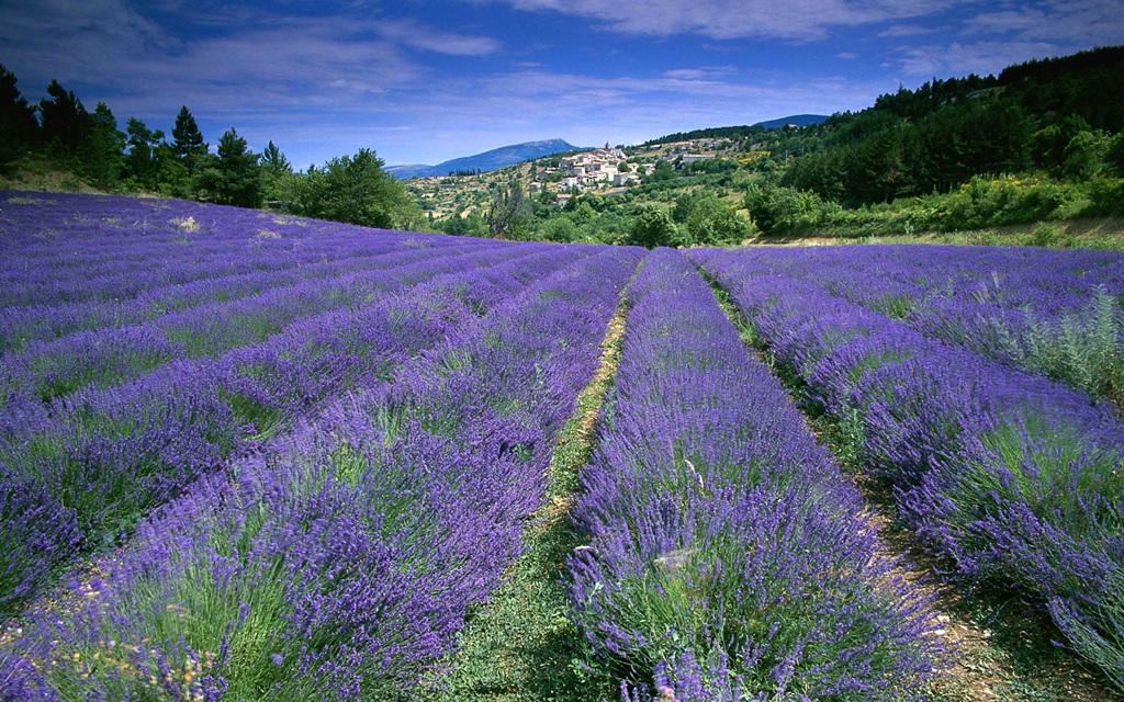 Lavender fields Provence  France