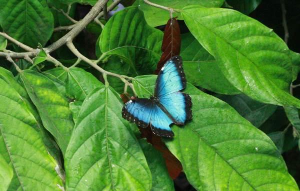 Blue Butterflies In Amazon Rainforest Brazil Xcitefun Net