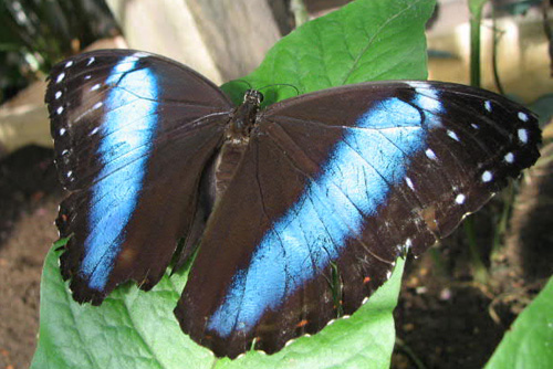 blue butterflies in amazon rainforest brazil