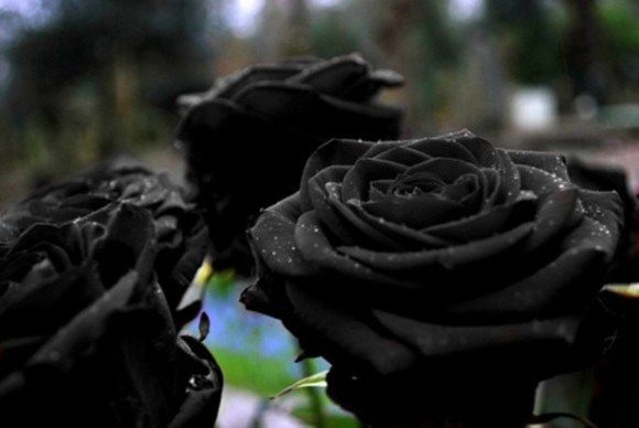 Black Roses of Turkey