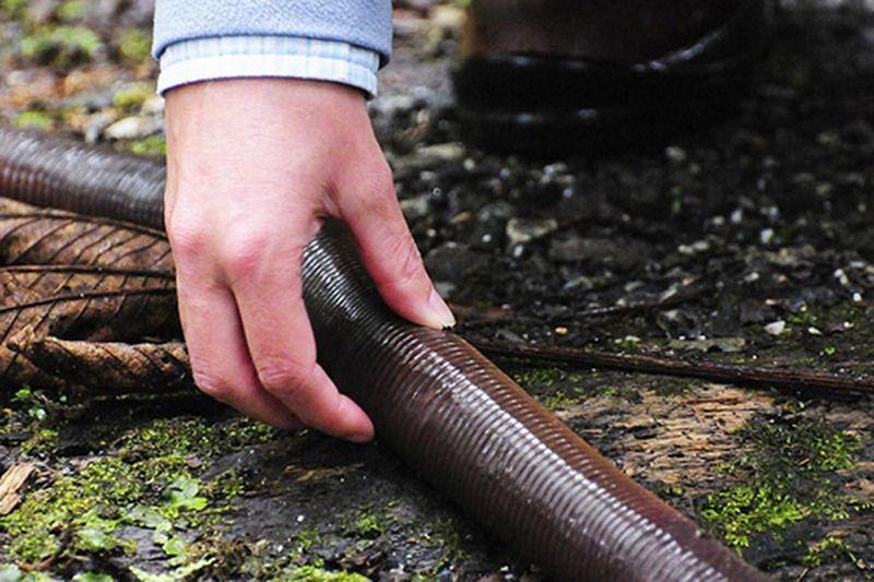 Giant Australian Earthworm World's Largest Earthw...