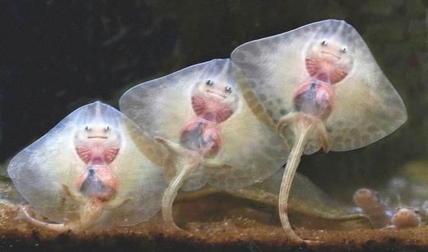 Cute Baby Stingrays - XciteFun.net