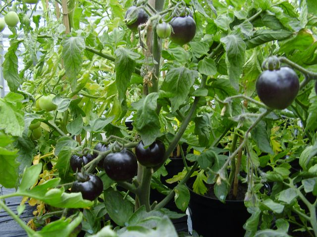 Benefits of Healthy Black Tomatoes