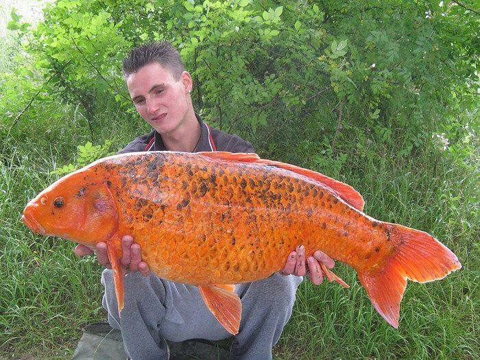 Biggest koi fish for Oldest koi fish