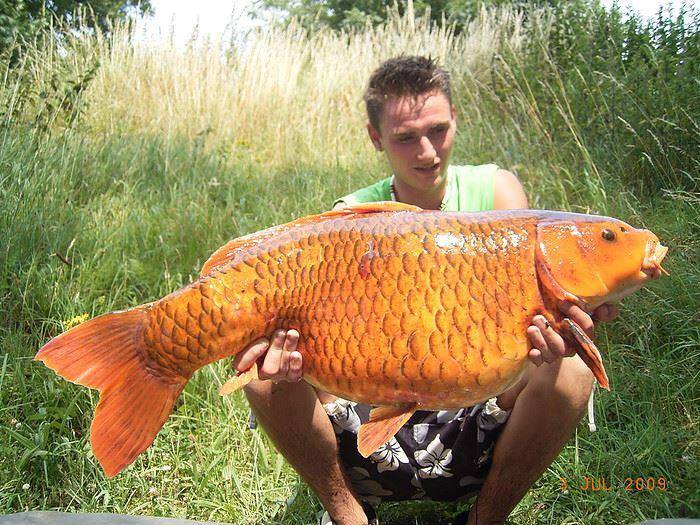 Biggest koi fish funny strange share on big koifish petal for Large coy fish