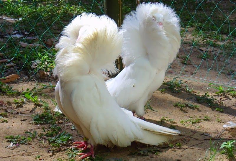 jacobin pigeon - photo #21