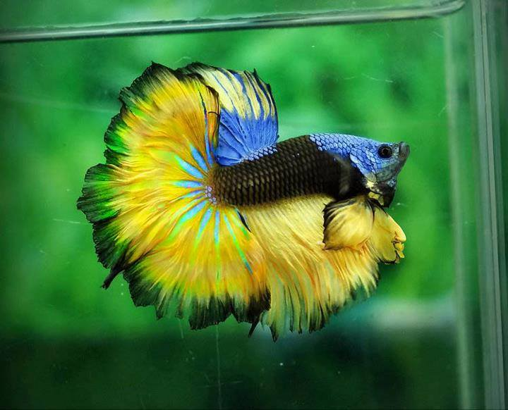 The colors and kinds of betta fish for Betta fish colors