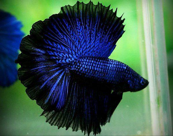 The colors and kinds of betta fish for Betta fish diet