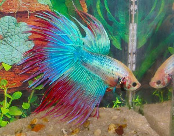 The colors and kinds of betta fish for Betta fish names male blue