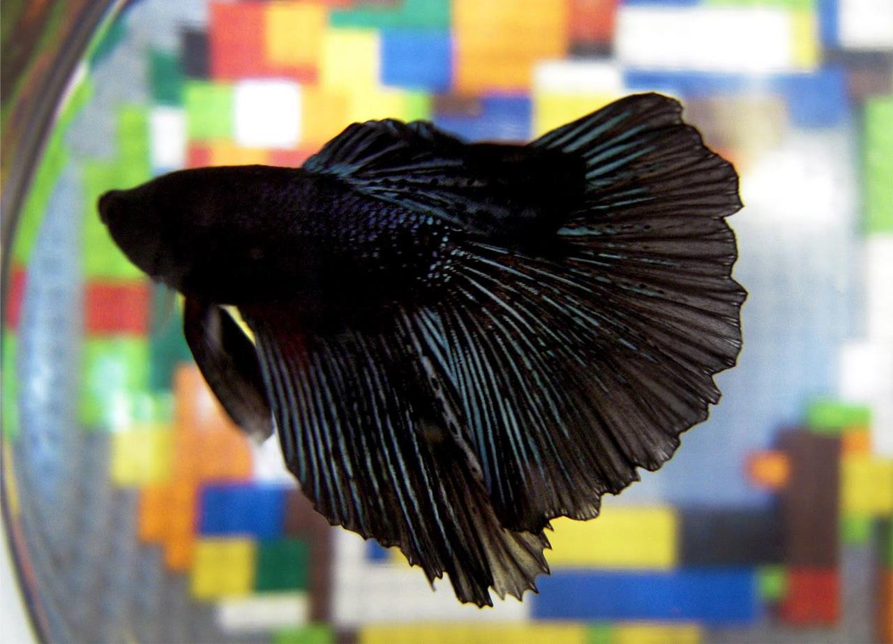 The colors and kinds of betta fish for Can you put betta fish with other fish
