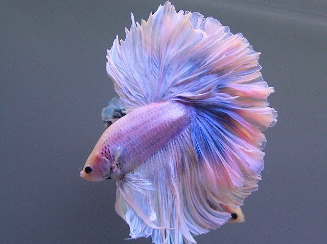 The Colors And Kinds Of Betta Fish