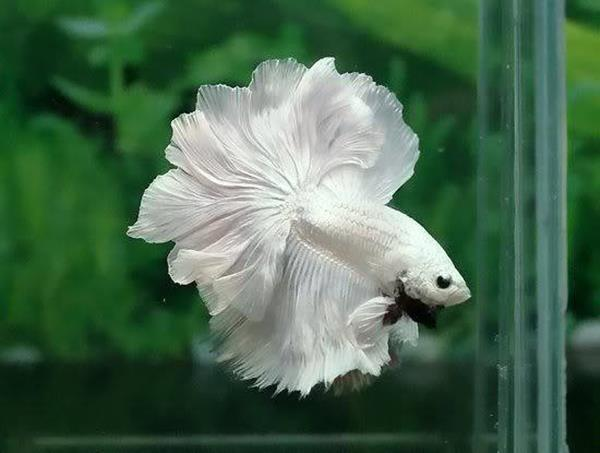 The colors and kinds of betta fish for Healthy betta fish