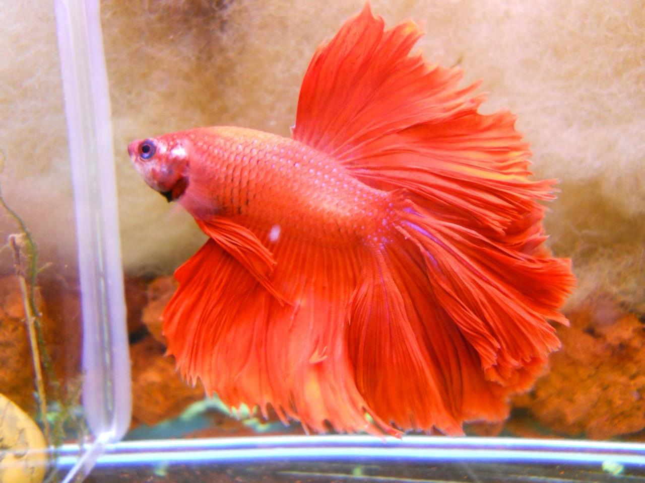 The colors and kinds of betta fish for What can you feed betta fish