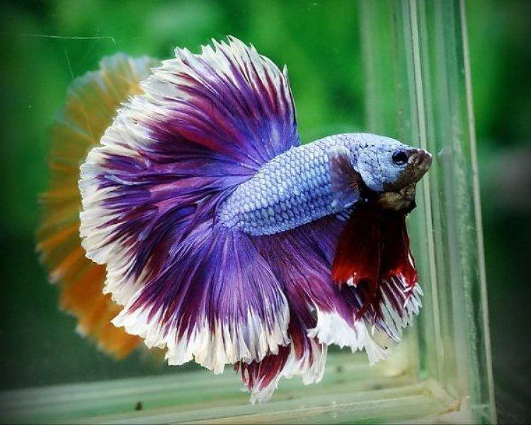 The Colors and Kinds of Betta Fish - XciteFun.net