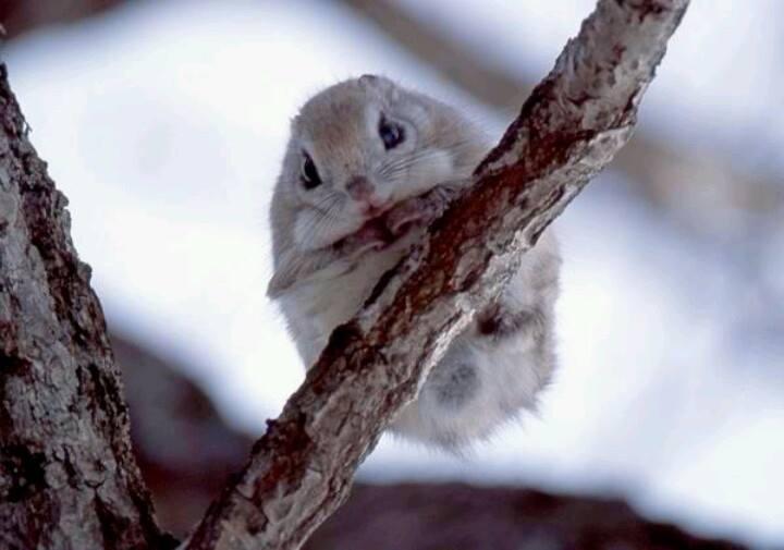 Cute flying squirrels - photo#12
