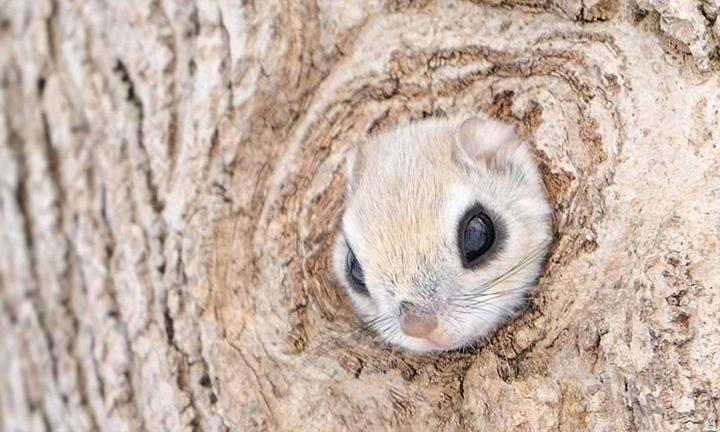 Japanese Dwarf Flying Squirrel So Cute Xcitefun Net