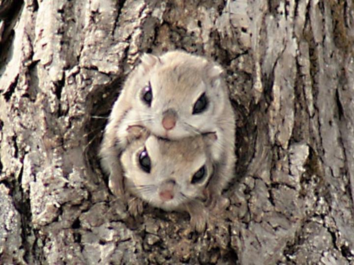 Cute flying squirrels - photo#18