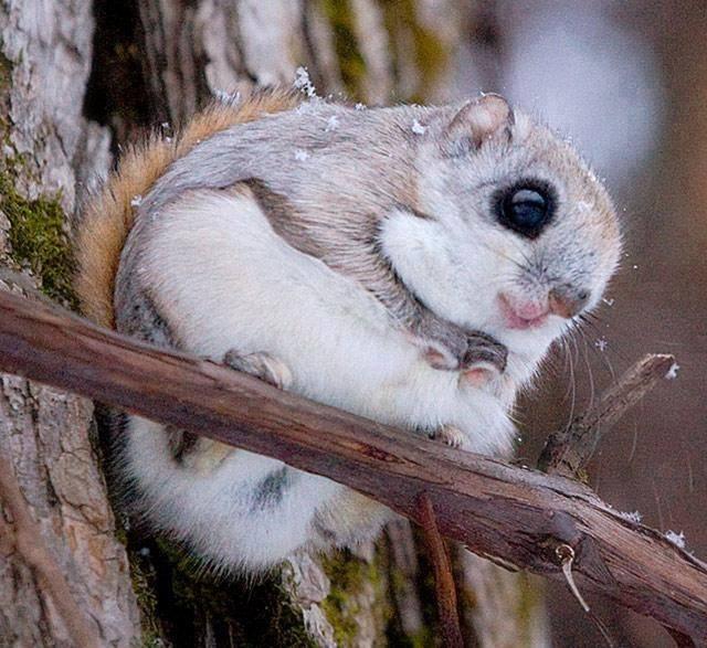 Japanese Dwarf Flying Squirrel So Cute Xcitefun Net