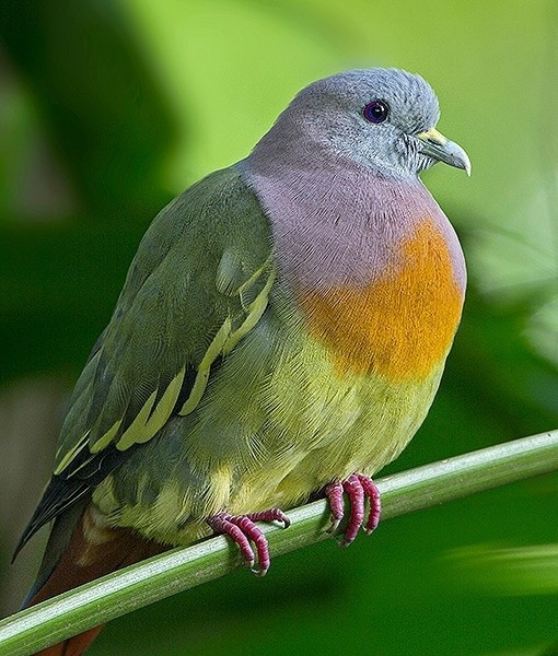 Ring Necked Green Pigeon