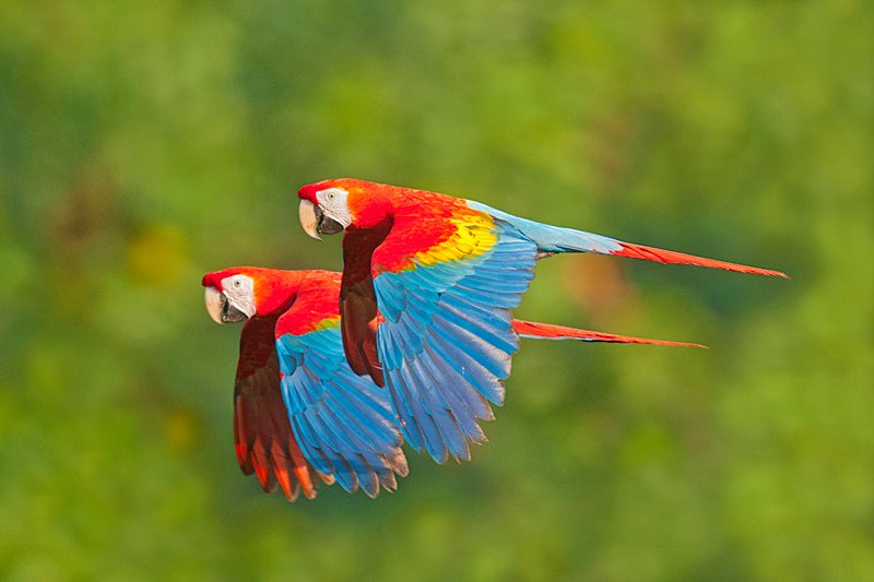 Parrots Flying In The Rainforest Xcitefun Net