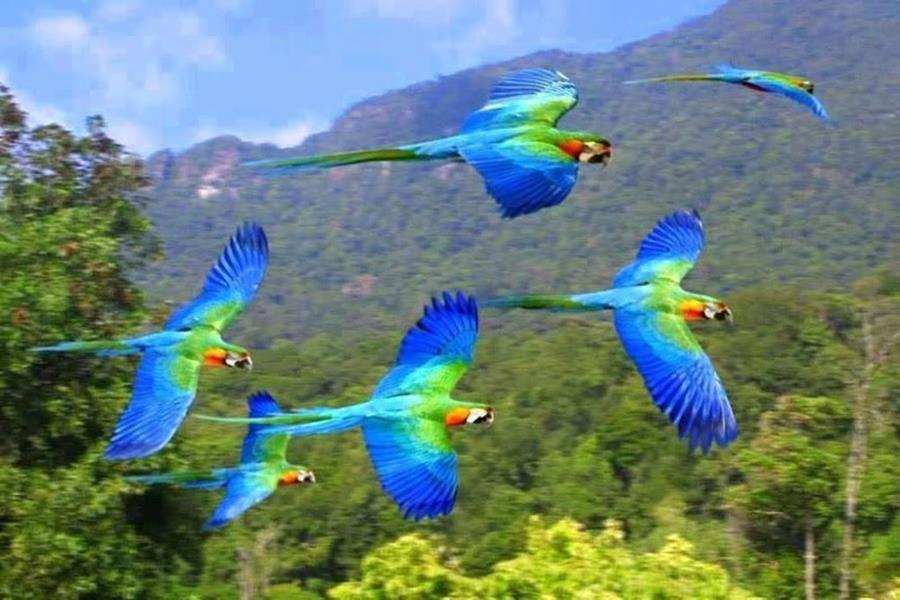 Flying Animal: Hyacinth Macaw |Blue Macaw Parrot Flying