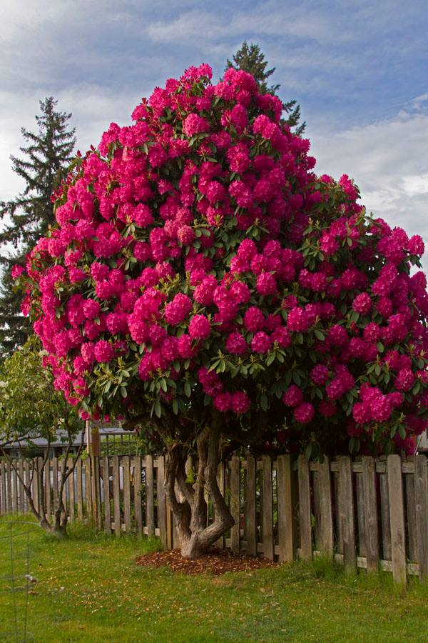 Magical rhododendron tree - Rododendro arbol ...