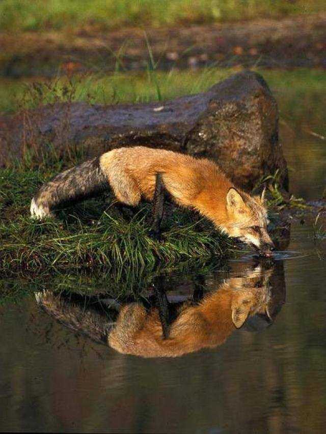 Animals Reflection In The Water