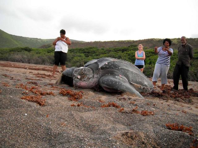 giant leatherback turtle xcitefunnet