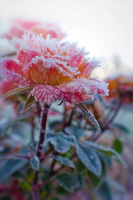 Beauty Of Frozen Flowers Xcitefun Net