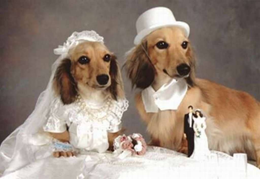 animals wedding pictures virtual university of pakistan