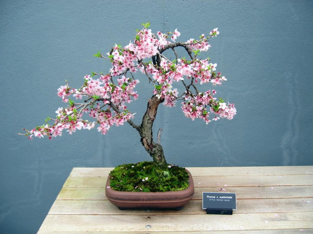 Cherry Blossom Bonsai Care Instructions - XciteFun.net - photo#38