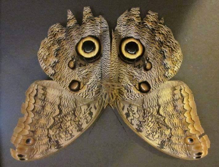 Owl butterfly - photo#21
