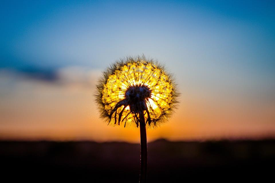 Sunset Through Dandelions Flowers