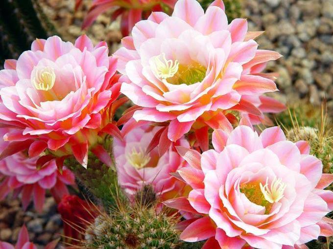 Výsledok vyhľadávania obrázkov pre dopyt gif képek kaktusz