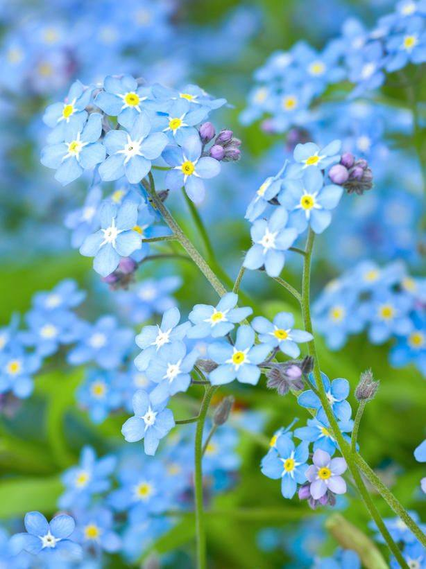 Refreshing colors of spring nature - Plants with blue flowers a splash of colors in the garden ...
