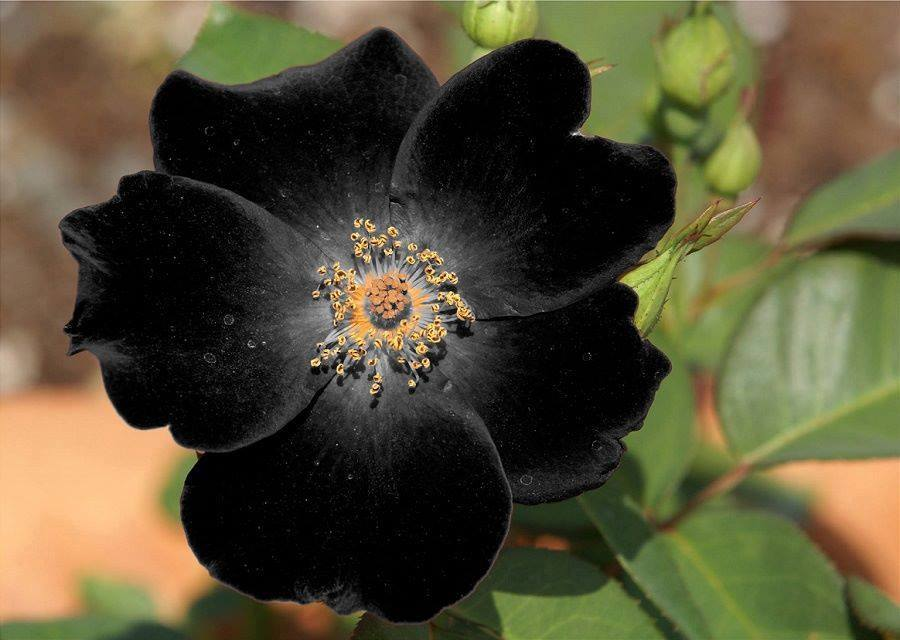Beauty of Black Flowers XciteFunnet