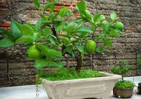 Bonsai - Page 3 379858,xcitefun-bonsai-fruit-tree-5
