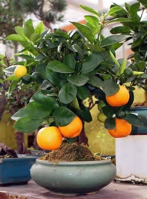 Bonsai - Page 3 379859,xcitefun-bonsai-fruit-tree-4