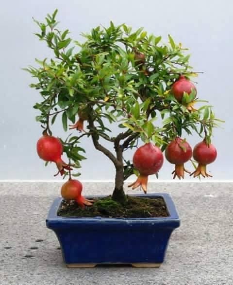 Bonsai - Page 3 379860,xcitefun-bonsai-fruit-tree-3