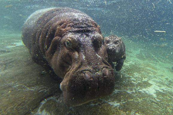 Zoo finds baby hippos gender after 7 weeks