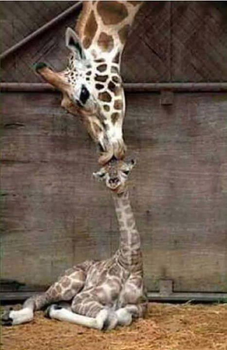 Cute Lovely Images of Giraffe Kissing