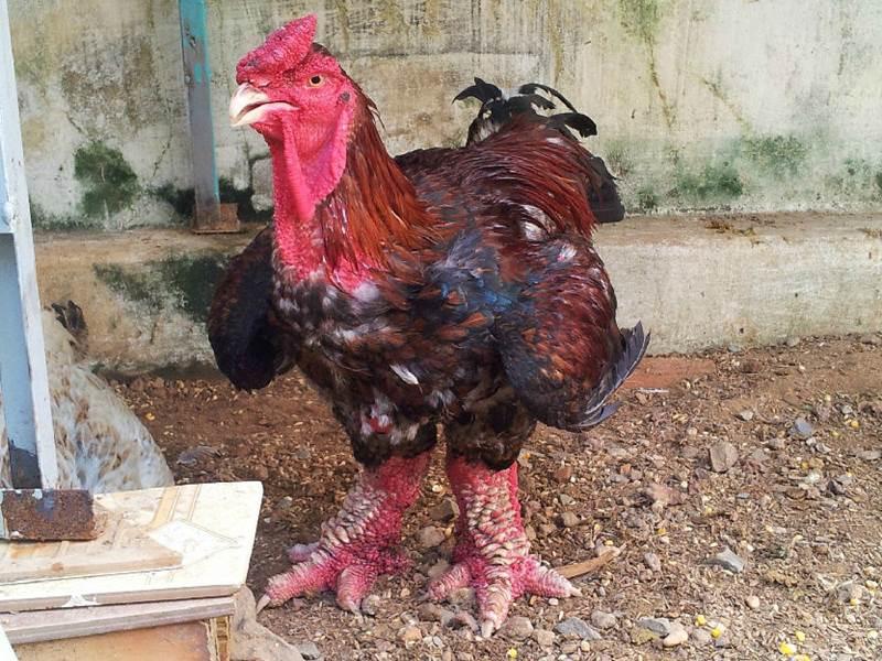 Dong Tao  Rare Chicken Breed of Vietnam